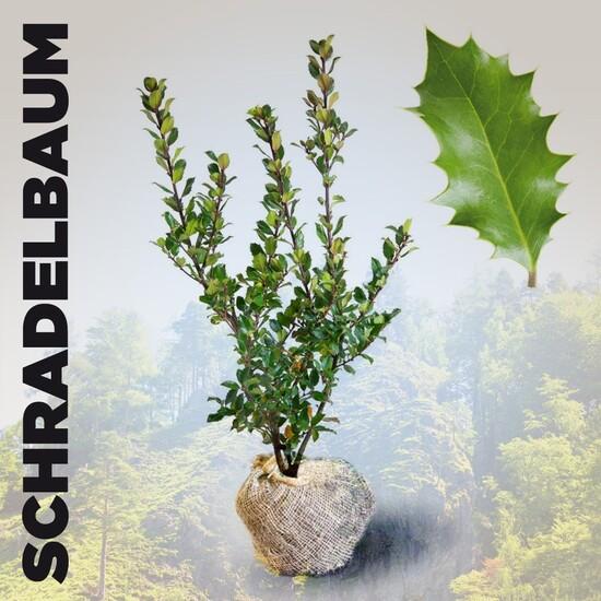 Schradelbaum